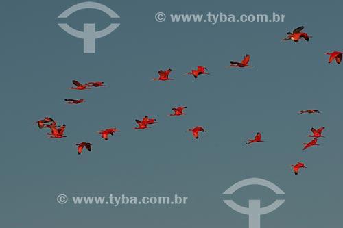 Assunto: Guará-vermelhos (Eudocimus ruber) no Parque Nacional dos Lençóis Maranhenses / Local: Barreirinhas - Maranhão (MA) - Brasil / Data: 07/2010