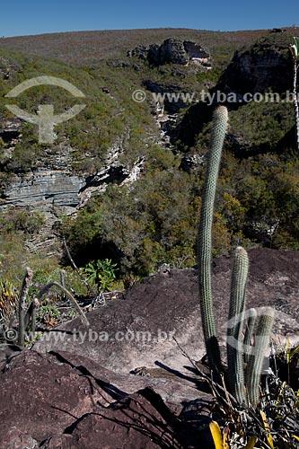 Assunto: Cacto Micranthocereus purpureus na trilha para a Cachoeira do Buracão / Local: Ibicoara - Bahia (BA) - Brasil / Data: 09/2012