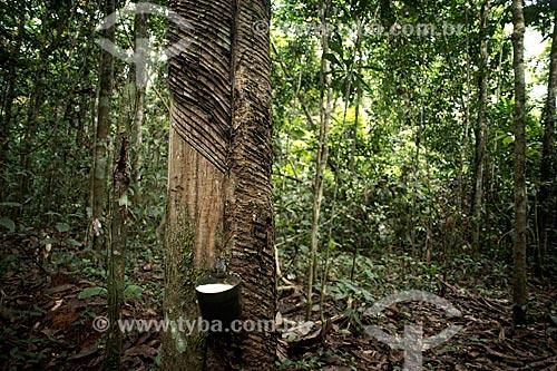 Assunto: Coleta de látex em seringueira (Hevea brasiliensis) no Seringal Cachoeira / Local: Xapuri - Acre (AC) - Brasil / Data: 05/2013