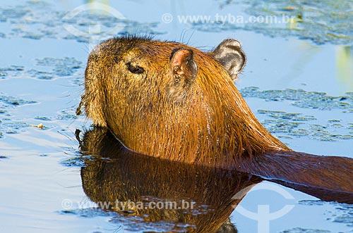 Assunto: Capivara (Hydrochoerus hydrochaeris) no pantanal do Rio Abobral / Local: Mato Grosso do Sul (MS) - Brasil / Data: 11/2011
