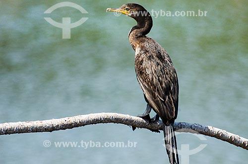 Assunto: Biguá (Phalacrocorax brasilianus) - também conhecido como biguaúna, imbiuá, miuá ou corvo-marinho - próximo ao pantanal do Rio Abobral / Local: Mato Grosso do Sul (MS) - Brasil / Data: 11/2011