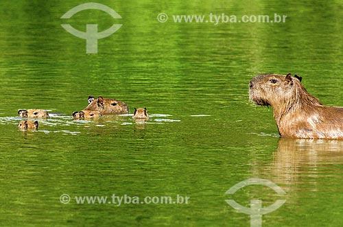 Assunto: Família de Capivara (Hydrochoerus hydrochaeris) no pantanal do Rio Abobral / Local: Mato Grosso do Sul (MS) - Brasil / Data: 11/2011