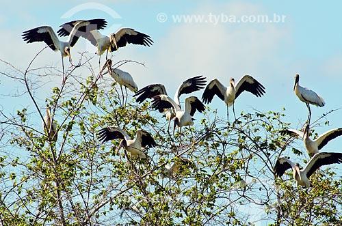 Assunto: Cabeças-secas (Mycteria americana) - também conhecido como Passarão - próximo ao pantanal do Rio Abobral / Local: Mato Grosso do Sul (MS) - Brasil / Data: 11/2011