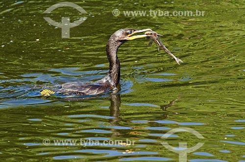 Assunto: Biguá (Phalacrocorax brasilianus) - também conhecido como biguaúna, imbiuá, miuá ou corvo-marinho - comendo peixe no Estrada Parque Pantanal / Local: Corumbá - Mato Grosso do Sul (MS) - Brasil / Data: 11/2011