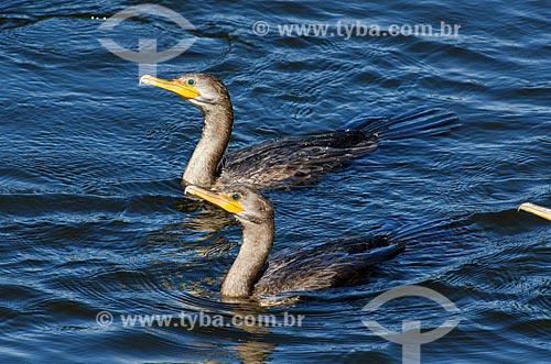 Assunto: Filhotes de Biguá (Phalacrocorax brasilianus) - também conhecido como biguaúna, imbiuá, miuá ou corvo-marinho - no Estrada Parque Pantanal / Local: Mato Grosso do Sul (MS) - Brasil / Data: 11/2011