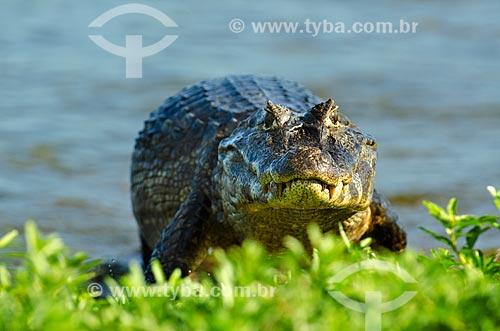 Assunto: Jacaré-do-pantanal (caiman crocodilus yacare) - também conhecido como Jacaré-do-paraguai - no Estrada Parque Pantanal / Local: Corumbá - Mato Grosso do Sul (MS) - Brasil / Data: 11/2011