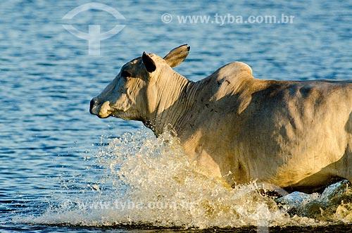 Assunto: Gado em campo alagável / Local: Mato Grosso do Sul (MS) - Brasil / Data: 11/2011