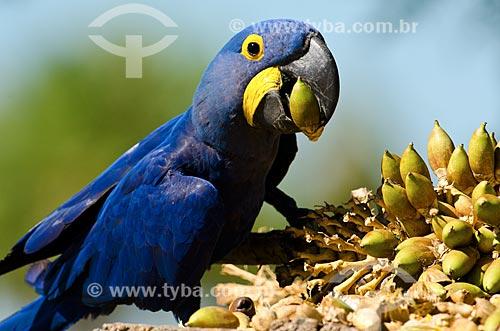 Assunto: Arara-azul-grande (Anodorhynchus hyacinthinus) - também chamada araraúna, arara-preta ou araruna - comendo bacurí no Estrada Parque Pantanal / Local: Corumbá - Mato Grosso do Sul (MS) - Brasil / Data: 11/2011