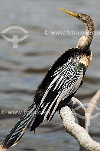 Assunto: Biguatinga (Anhinga anhinga) - também conhecido como carará, anhinga, meuá, muiá ou mergulhão-serpente - no Estrada Parque Pantanal / Local: Corumbá - Mato Grosso do Sul (MS) - Brasil / Data: 11/2011