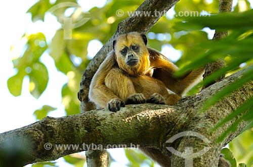 Assunto: Bugio (Alouatta caraya) - também conhecido como bugio-do-pantanal ou guariba - no Estrada Parque Pantanal / Local: Corumbá - Mato Grosso do Sul (MS) - Brasil / Data: 11/2011
