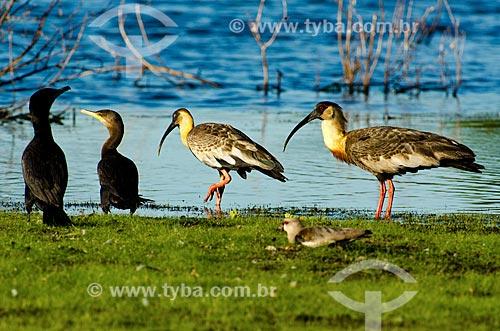 Assunto: Biguás (Phalacrocorax brasilianus) - também conhecido como biguaúna, imbiuá, miuá ou corvo-marinho - no Estrada Parque Pantanal / Local: Corumbá - Mato Grosso do Sul (MS) - Brasil / Data: 11/2011