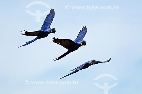 Assunto: Filhotes de Arara-azul-grande (Anodorhynchus hyacinthinus) - também chamada araraúna, arara-preta ou araruna - voando próximo ao Estrada Parque Pantanal / Local: Corumbá - Mato Grosso do Sul (MS) - Brasil / Data: 11/2011