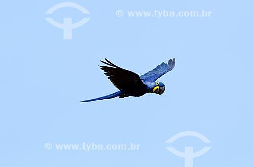 Assunto: Filhote de Arara-azul-grande (Anodorhynchus hyacinthinus) - também chamada araraúna, arara-preta ou araruna - voando próximo ao Estrada Parque Pantanal / Local: Corumbá - Mato Grosso do Sul (MS) - Brasil / Data: 11/2011