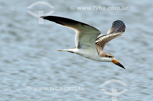 Assunto: Talha-mar (Rynchops niger) - no Estrada Parque Pantanal / Local: Corumbá - Mato Grosso do Sul (MS) - Brasil / Data: 11/2011