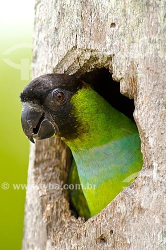 Assunto: Periquito-de-cabeça-preta (Aratinga nenday) - também conhecido como Príncipe-negro - saindo do ninho em um tronco de buriti no Estrada Parque Pantanal / Local: Corumbá - Mato Grosso do Sul (MS) - Brasil / Data: 11/2011