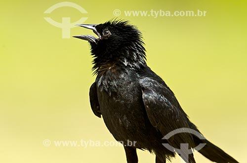 Assunto: Graúna (Gnorimopsar chopi) - também conhecido como chico-preto, chopim, chupão, assum-preto ou pássaro-preto - no Estrada Parque Pantanal / Local: Corumbá - Mato Grosso do Sul (MS) - Brasil / Data: 11/2011