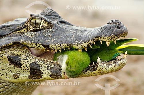 Jacaré-do-pantanal (caiman crocodilus yacare) - também conhecido como Jacaré-do-paraguai - comendo uma Caturrita (Myiopsitta monachus) - também conhecida como Catorra ou Cocota - no Estrada Parque Pantanal  - Corumbá - Mato Grosso do Sul - Brasil