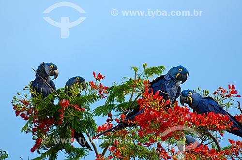 Arara-azul-grande (Anodorhynchus hyacinthinus) - também chamada araraúna, arara-preta ou araruna - pousadas no Flamboyant (Delonix regia) - também conhecida como Flamboiã - no Estrada Parque Pantanal  - Corumbá - Mato Grosso do Sul - Brasil