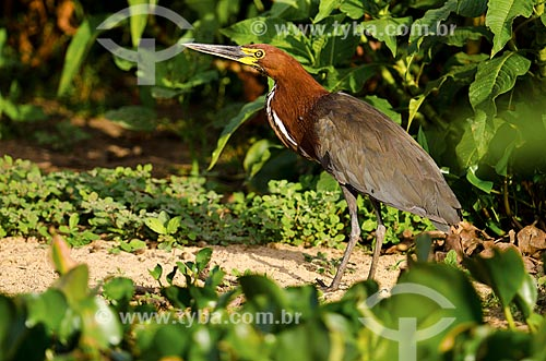 Assunto: Soco-boi (Tigrisoma lineatum) no Estrada Parque Pantanal / Local: Corumbá - Mato Grosso do Sul (MS) - Brasil / Data: 11/2011