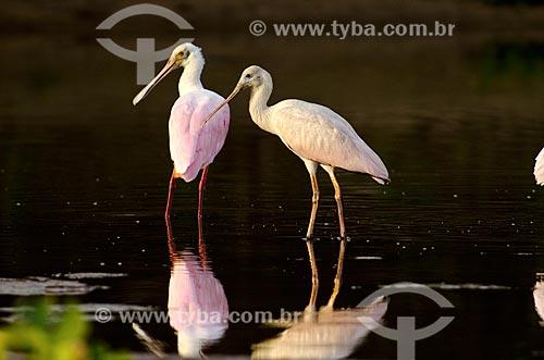Assunto: Colhereiro (Platalea ajaja) - também conhecido como aiaia e colhereiro-americano - no Estrada Parque Pantanal / Local: Corumbá - Mato Grosso do Sul (MS) - Brasil / Data: 11/2011