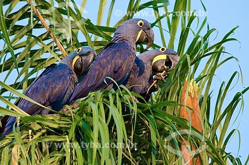 Assunto: Arara-azul-grande (Anodorhynchus hyacinthinus) - também chamada araraúna, arara-preta ou araruna - no Estrada Parque Pantanal / Local: Corumbá - Mato Grosso do Sul (MS) - Brasil / Data: 11/2011