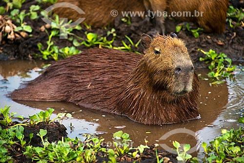 Assunto: Capivara (Hydrochoerus hydrochaeris) no pantanal norte / Local: Bodoquena - Mato Grosso do Sul (MS) - Brasil / Data: 10/2012