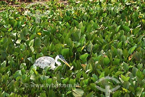 Assunto: Garça-moura (Ardea cocoi) - também conhecida como socó-de-penacho,  baguari, socó-grande - no Estrada Parque Pantanal / Local: Corumbá - Mato Grosso do Sul (MS) - Brasil / Data: 10/2012