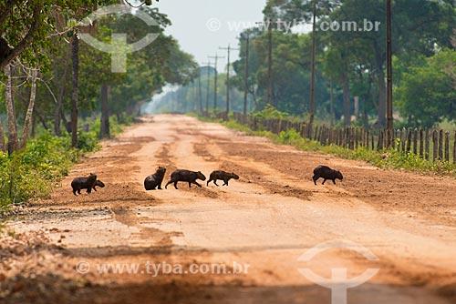 Assunto: Capivaras (Hydrochoerus hydrochaeris) atravessando a Rodovia Transpantaneira (MT-060) / Local: Mato Grosso (MT) - Brasil / Data: 10/2012