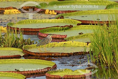 Assunto: Socozinho (Butorides striata) pousado sobre Vitória-régia (Victoria amazonica) no pantanal / Local: Mato Grosso (MT) - Brasil / Data: 10/2012