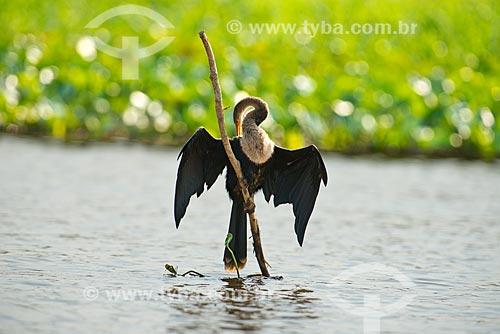 Assunto: Biguatinga (Anhinga anhinga) - também conhecido como carará, anhinga, meuá, muiá ou mergulhão-serpente - no Rio Cuiabá / Local: Mato Grosso (MT) - Brasil / Data: 10/2012