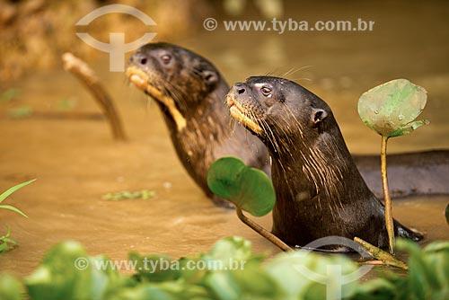 Assunto: Ariranhas (Pteronura brasiliensis) - também conhecido como onça-dágua, lontra-gigante ou lobo-do-rio - no Estrada Parque Pantanal / Local: Corumbá - Mato Grosso do Sul (MS) - Brasil / Data: 10/2012
