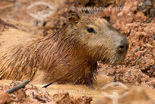 Assunto: Capivara (Hydrochoerus hydrochaeris) no Pantanal / Local: Poconé - Mato Grosso (MT) - Brasil / Data: 10/2012