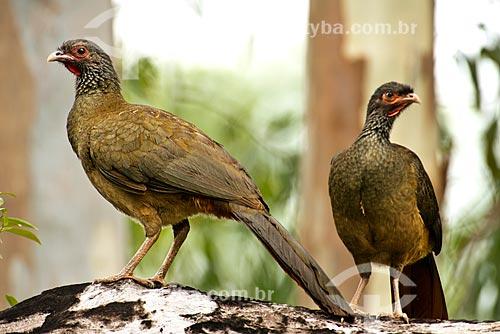 Assunto: Jacupemba (Penelope superciliaris) - também conhecida como Jacu velho ou Jacucaca - no Pantanal / Local: Poconé - Mato Grosso (MT) - Brasil / Data: 10/2012