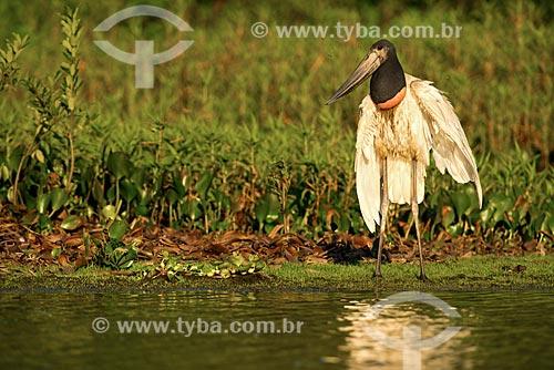 Assunto: Tuiuiú (Jabiru mycteria) no Estrada Parque Pantanal / Local: Corumbá - Mato Grosso do Sul (MS) - Brasil / Data: 10/2012