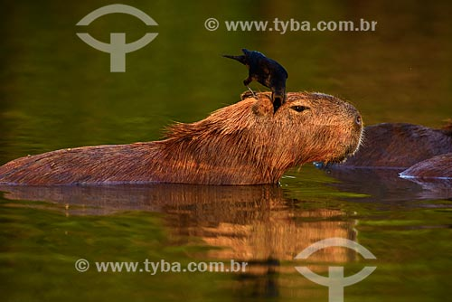 Assunto: Iraúna-grande (Scaphidura oryzivora) - também conhecido como graúna - pousado na Capivara (Hydrochoerus hydrochaeris) alimentando-se de insetos / Local: Poconé - Mato Grosso (MT) - Brasil / Data: 10/2012