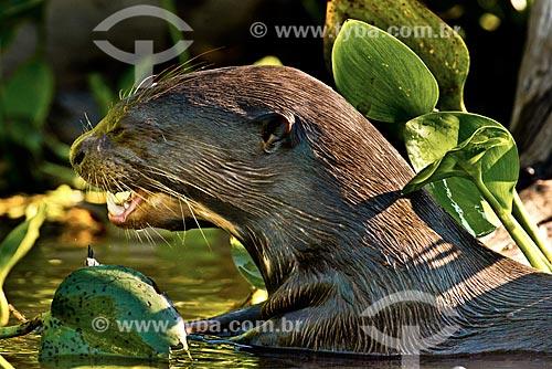 Assunto: Ariranha (Pteronura brasiliensis) - também conhecido como onça-dágua, lontra-gigante ou lobo-do-rio - no Pantanal / Local: Corumbá - Mato Grosso do Sul (MS) - Brasil / Data: 10/2012