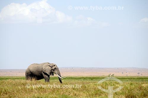 Assunto: Elefante africano (Loxodonta africana) no Parque Nacional de Amboseli / Local: Vale do Rift - Quênia - África / Data: 09/2012