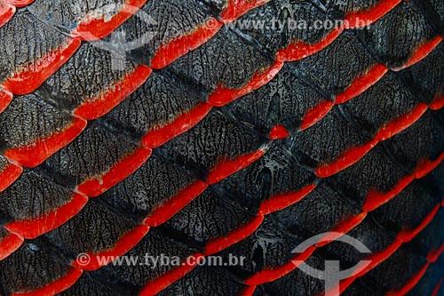 Assunto: Detalhe da escama de pirarucu (Arapaima gigas) / Local: Maraã - Amazonas (AM) - Brasi / Data: 11/2013