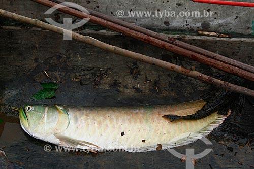 Assunto: Peixe Aruanã / Local: Maraã - Amazonas (AM) - Brasil / Data: 11/2013