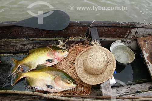 Assunto: Peixes tambaquis - (Colossoma macropomum) / Local: Maraã - Amazonas (AM) - Brasil / Data: 11/2013