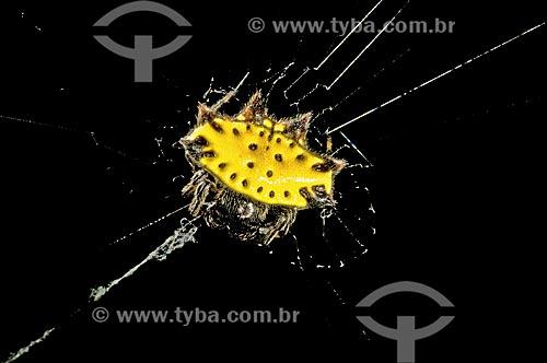 Assunto: Vista de aranha Gasteracantha cancriformis / Local: Pendotiba - Niterói - Rio de Janeiro (RJ) - Brasil / Data: 09/2013