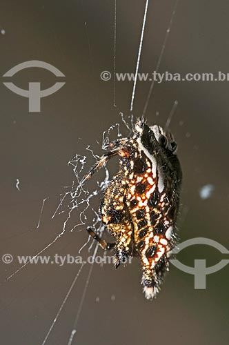 Assunto: Detalhe de aranha na teia / Local: Pendotiba - Niterói - Rio de Janeiro (RJ) - Brasil / Data: 08/2013