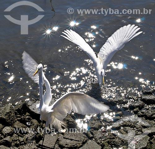 Assunto: Garças-branca-grande (Ardea alba) às margens da Baía de Guanabara / Local: Ponta Dareia - Niterói - Rio de Janeiro (RJ) - Brasil / Data: 09/2013
