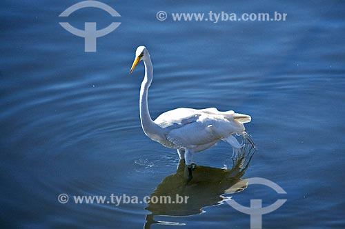 Assunto: Garça-branca-grande (Ardea alba) às margens da Baía de Guanabara / Local: Ponta Dareia - Niterói - Rio de Janeiro (RJ) - Brasil / Data: 09/2013