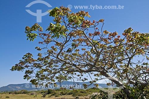 Assunto: Árvore na Restinga de Maricá / Local: Maricá - Rio de Janeiro (RJ) - Brasil / Data: 09/2013