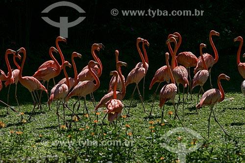 Vista de Flamingos (Phoenicopterus ruber)  - Rio de Janeiro - Rio de Janeiro - Brasil