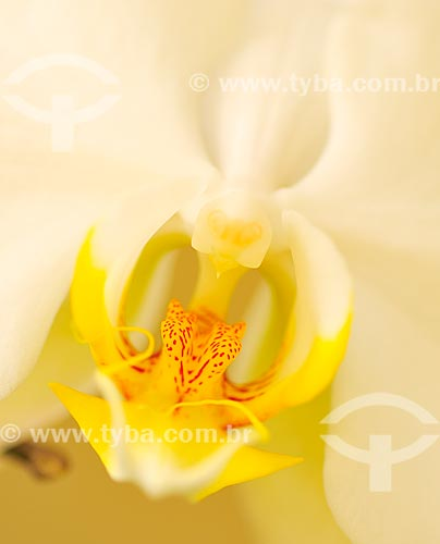 Assunto: Detalhe de Orquídea / Local: Dubai - Emirados Árabes Unidos - Ásia / Data: 04/2013