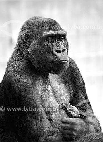 Assunto: Gorila no Zoológico Nacional do Smithsonian / Local: Washigton DC - Estados Unidos da América (EUA) - América do Norte / Data: 08/2013