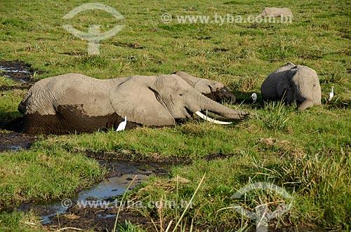Assunto: Elefantes tomando banho no Parque Nacional de Amboseli / Local: Vale do Rift - Quênia - África / Data: 09/2012