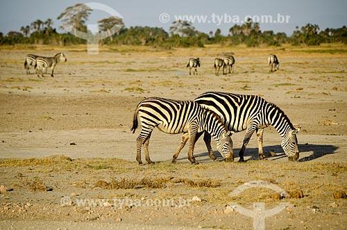 Assunto: Zebras pastando no Parque Nacional de Amboseli / Local: Vale do Rift - Quênia - África / Data: 09/2012